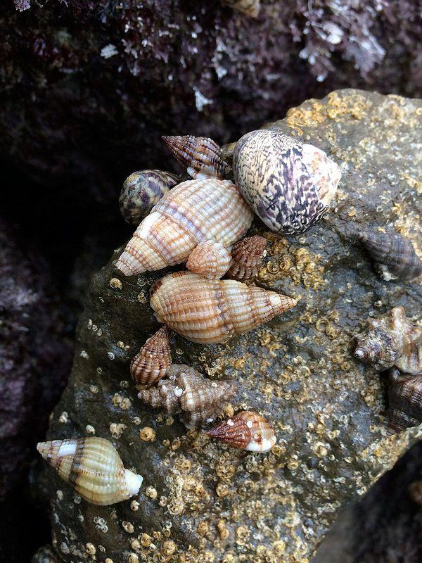 Cacolas con cangrejos ermitaños