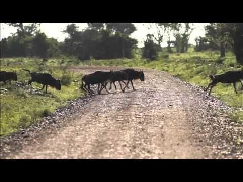 James Suter views spectacular migrating wildebeest, Singita Grumeti, Tanzania