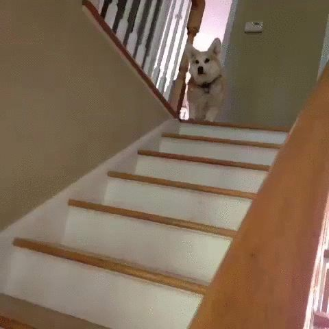 Cute Doge jumping down the stairs