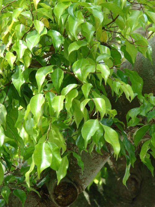 Erdőt a szobába - tarts fikuszt | Dísznövény és dendrológia | Kertportál.hu