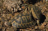 Association du refuge des tortues - ART - Tortue d'Hermann ou tortue d'Hermann occidentale
