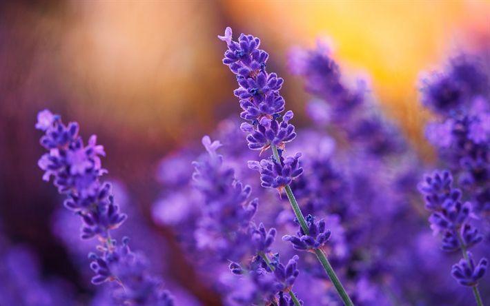Download wallpapers lavender, field flowers, spring, sunset, plants, purple flowers