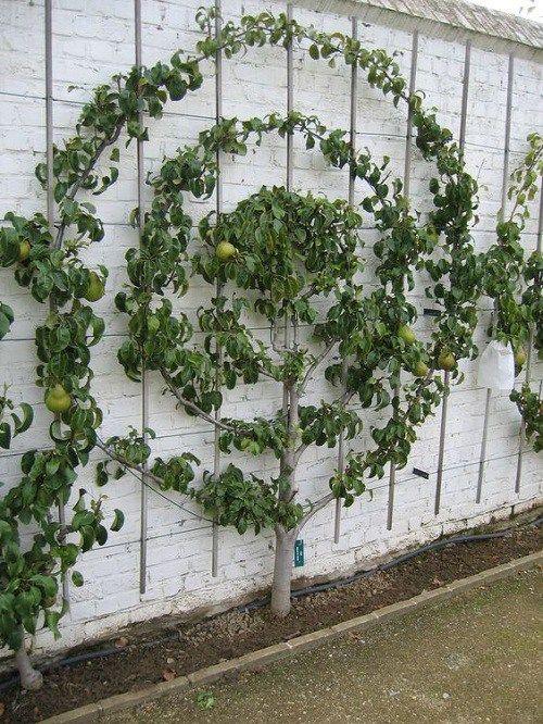 fruit tree wall