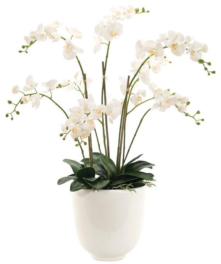 C | Orchid Phalaenopsis $648