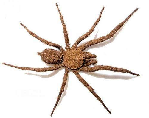 A new spider species from Mexico uses soil particles for camouflage
