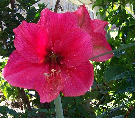 Amaryllis Hippeastrum 50 Seeds 2019 Season Perennial Flowers Bulbs King S Red Bulb Flowers Flowers Perennials Flowers