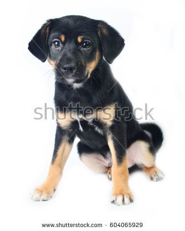The friendly puppy on a white background.