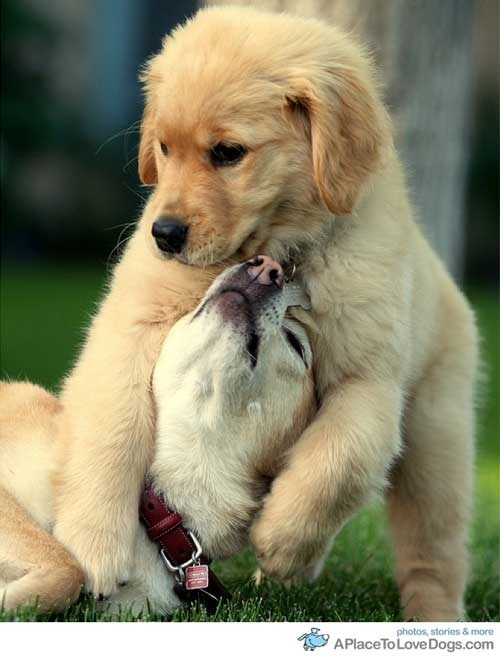: Puppies, Welsh Terriers, Snuggle, Pet, Pretty Dogs, Families Dogs, Plays, Animal, Golden Retriever