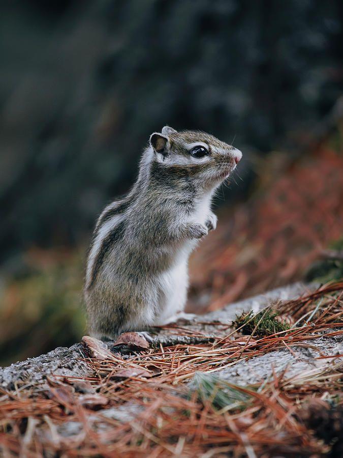 Cute Chipmunk Photograph by Oksana Ariskina #OksanaAriskina #OksanaAriskinaFineArtPhotography #FineArtPhotography #HomeDecor #FineArtPrint #PrintsForSale #Chipmunk #Nature #Funny #Cute #squirrel #wildanimals www.oksana-ariskina.pixels.com @pixels @fineartamerica