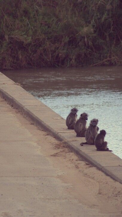 Baboons all in a row, waiting for the rest of the troop - Hluhluwe game reserve