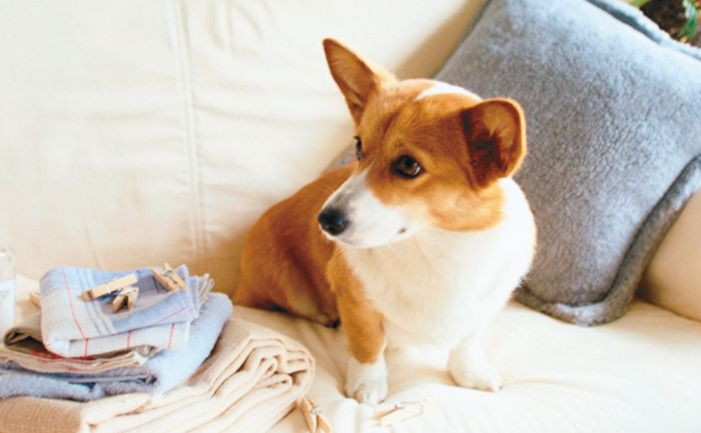 Breed: Pembroke Welsh Corgi Temperament: active, friendly, loyal Lifespan: 12 years Maintenance: medium Recommended for: families History The Pembroke Welsh…