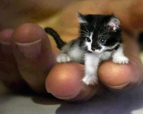 At 2 years old, Mr Peebles is the worlds smallest cat. The tiny cat has a genetic defect that stunts growth. Mr Peebles is now in the Guinness Book of World Records. Cute cat!