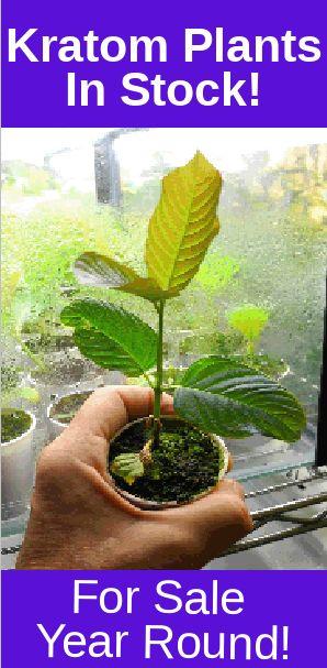 Fix For Yellow Leaves On Live Kratom Plants #kratom #cultivation