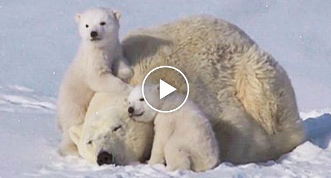 You're Going To Fall In Love With This Adorable Polar Bear Family