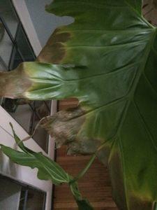 Zz Plant Yellow Leaves