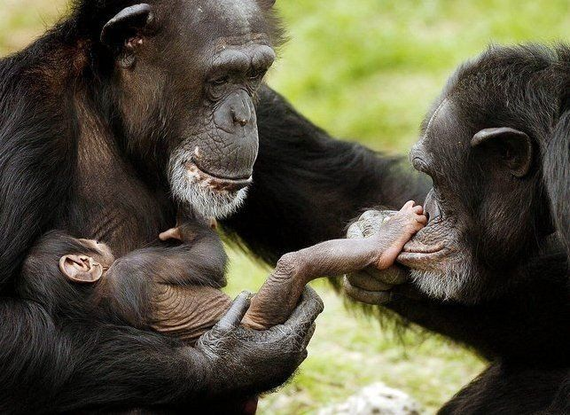 A cute little family!! Even animals love their babies! Wish all humans would do the same!!! Such a cute picture!!Animal Pics, Chimpanzee, Families Pictures, Monkeys, Baby Feet,  Chimp,  Pan Troglodyte, Families Photos, Funny Animal