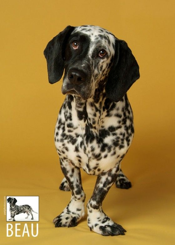 dalmatian basset hound mix for sale | Beauregard is a Dalmatian/Basset Hound mix