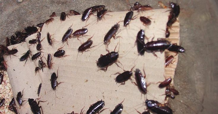 Put This In Every Corner Of Your Home It Exterminates Every Cockroach Overnight Without Chemicals Termite Control Pest Control Pests
