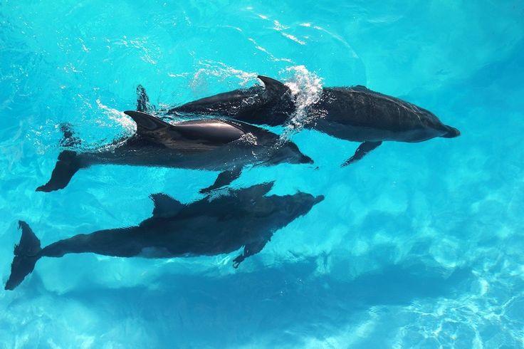 ¿Hemos grabado una conversación entre delfines? Acaso los silbidos y chasquidos que emiten los delfines forman palabras discretas e incluso oraciones completas? Si le preguntas a los científicos de la Universidad Politécnica de San Petersburgo, en Rusia, así es, ya que dicen que han documentado la conversación entre un par de delfines del Mar Negro.
