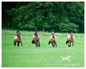 Highland Ponies.