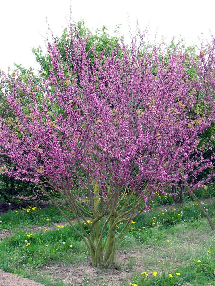 Cercis siliquastrum (meerstammig), mooie kleine bredere boom