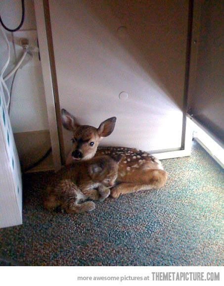 Bobcat kitten and baby fawn take shelter together after a fire in California…