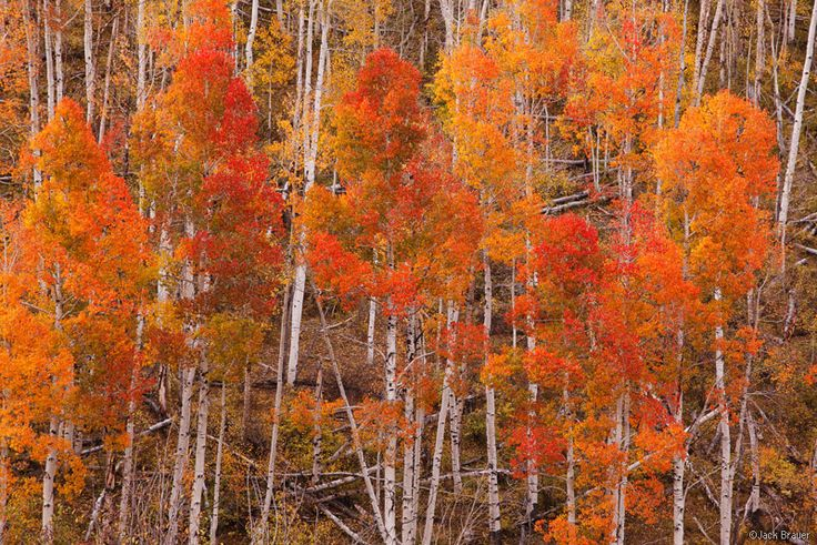 Brilliant red and orange autumn aspens near Dallas Divide along the Sneffels Range - October. Photo by Jack Brauer.