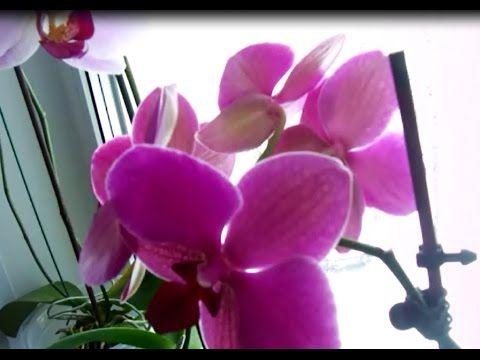 Способ ухода за орхидеями. Я выращиваю орхидеи, которые хотели уже выбросить в цветочном магазине. Покупаю их по 100 рублей и посмотрите, что получается...По...