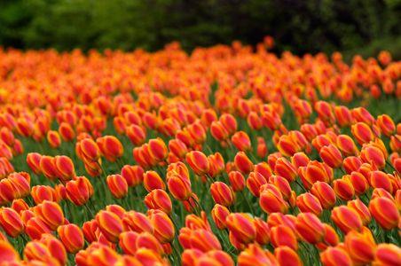 tulips-Ottawa-Canada.  Tulip Festival - May 3-20, 2013