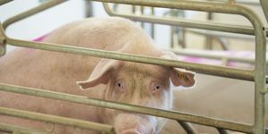 petition: Urge The Arkansas Legislature to Ban Gestation Crates in Factory Farming!