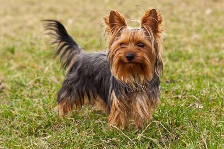 "Yorkshire Terrier The Yorkshire Terrier or often referred to as ""Yorkie"" is a mini to small breed dog (usually less than 10kg) with medium to long hair. Although Yorkshire Terrier puppies may look completely different than adults, the typical colouration is black and tan, but variations with blue and... http://www.vet-portshepstone.co.za/yorkshire-terrier/"