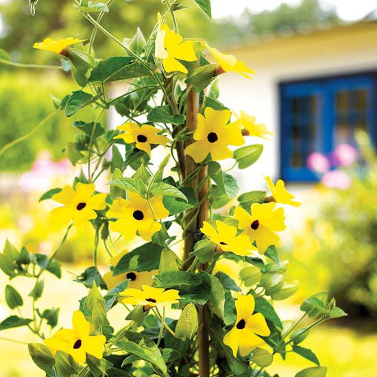 Black Eyed Susan Vine Thunbergia Alata One Of The Cheeriest Annual Climbers Yellow Flowerscolor