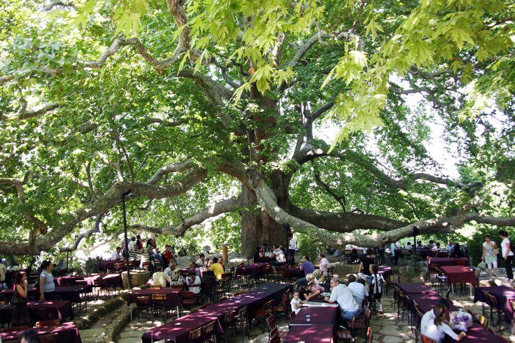 İnkaya Çınarı -  Bursa'nın kuzeyindeki Oyukçınar Mahallesi'ne adını veren çınar ağacı 18,2 metre gövde genişliği ile Türkiye'nin en büyük ağacıydı.