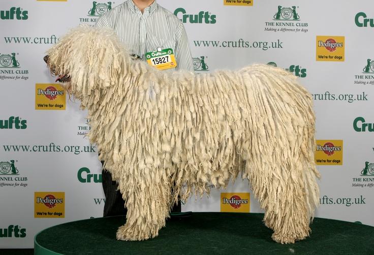 Komondor .   E nagy  termetű, erős és bátor fehér színű kutyák kísérői, terelői, őrzői lehettek már a honfoglaló magyarok nyájainak és gulyáinak is.