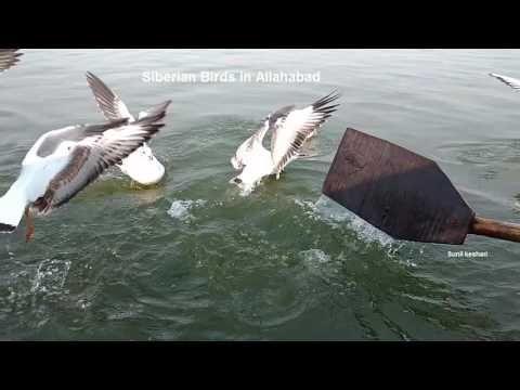 siberian birds in allahabad sangam
