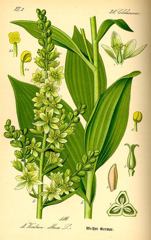 Veratrum album (False Helleborine, European White Hellebore). Flora von Deutschland Österreich und der Schweiz (1885)