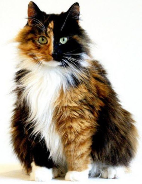 I think this long haired Torbie ( Tortoiseshell/Tabby mix) is strikingly beautiful.
