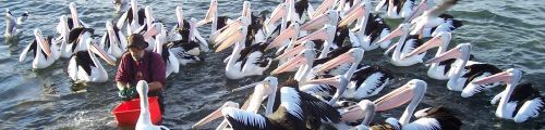 Pelican Feeding at Kingscote, Time: 5:00pm daily Place: Kingscote Wharf, northern side - you can't miss the pelicans! Price: only $5 per adult