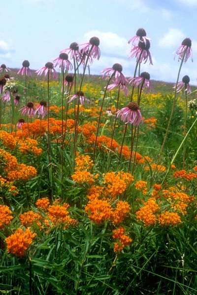 Orange Butterflyweed  (Asclepias tuberosa) & pink flowers are Purple Coneflower (Echinacea purpurea )
