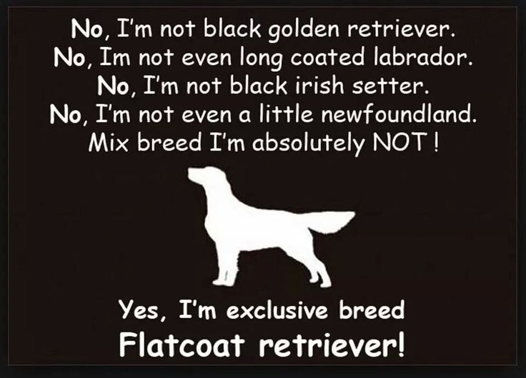 Yes, Flat Coated Retriever !