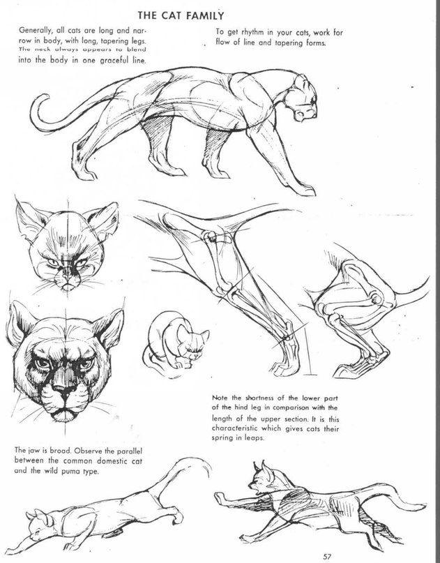 Пластическая анатомия животных и референсы