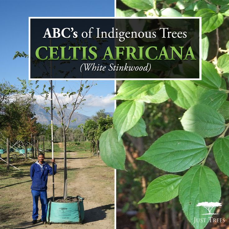 The Celtis africana (White Stinkwood) is a beautiful deciduous tree, a lovely addition to any landscape as it is both fast and easy to grow and provides shade during those hot summery days coming up! It is also drought-resistant, frost-resistant and proves to be a popular choice for a street and avenue tree. The White Stinkwood also works well planted in a sizeable container in a courtyard or patio.