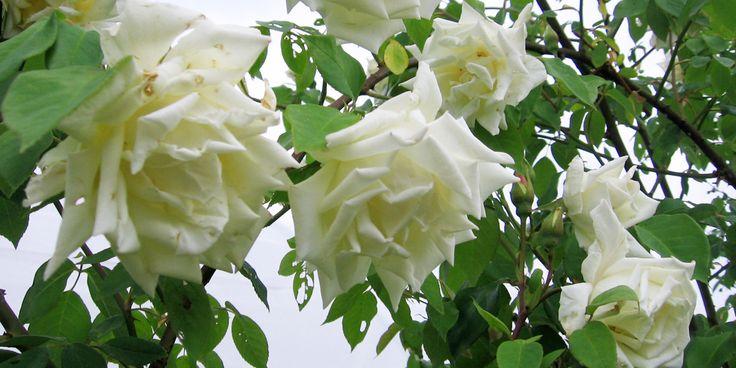 Klimroos 39 climbing mrs herbert stevens 39 1922 sterk en gezond witte bloemen met een groene - Sterke witte werpen en de bal ...