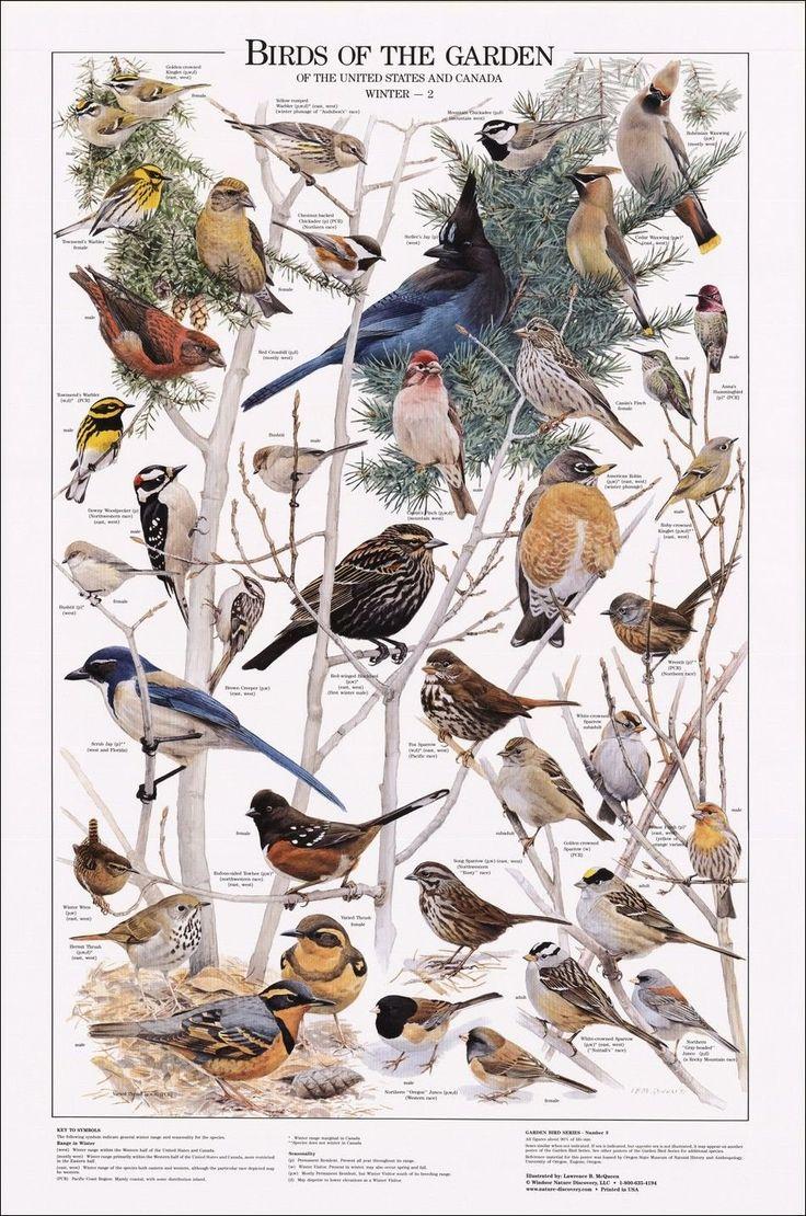 Birds of the Garden Poster, Birds Poster, Bird Identification, Common Garden Birds