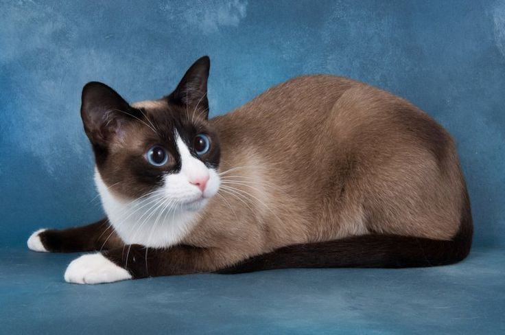 10 Things You Should Know About The Snowshoe Cat