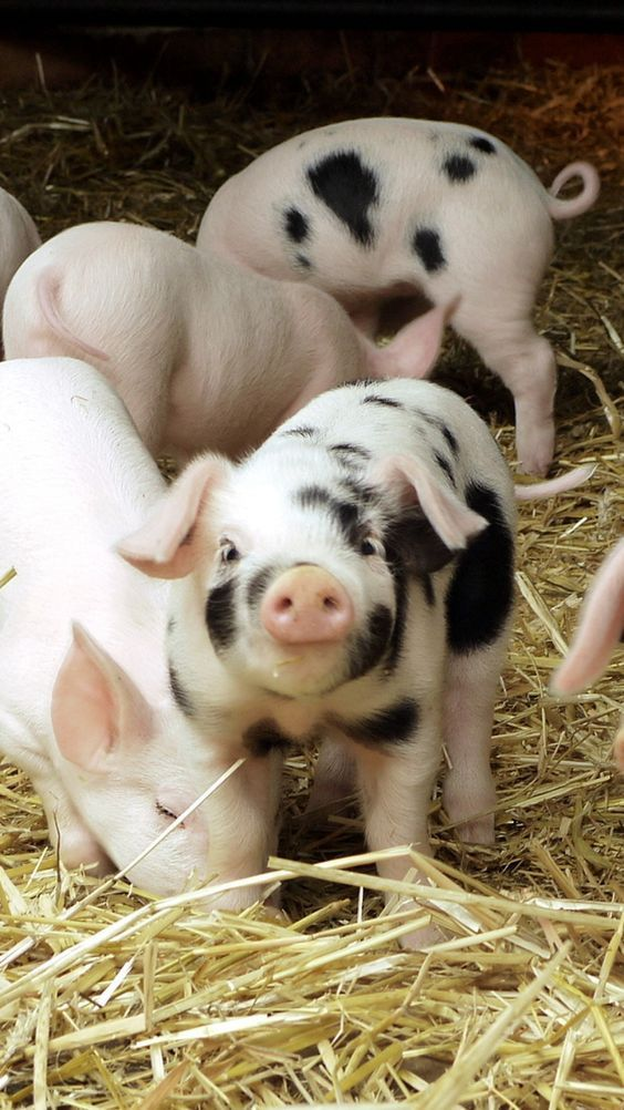 13 Cute Pigs for Your Monday                                                                                                                                                                                 More
