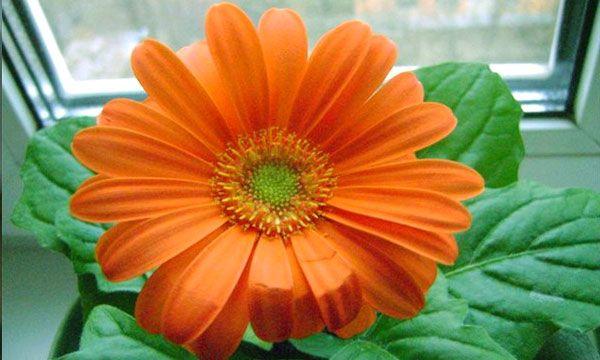 Гербера цветок универсальный. Она с не меньшим успехом растет как на клумбе, так и в домашних условиях как комнатное растение. Безусловно, условия содержания и ухода отличаются, но не столь кардинально, чтобы это не оказалось под силу начинающим цветоводам. Выращивание типично садовых цветов как комнатных растений дело обычное.