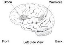 Wernicke's area is the region of the brain that is important for language development. The Wernicke's area is located in the temporal lobe on the left side of the brain and is responsible for the comprehension of speech (Broca's area is related to the production of speech. Located in left frontal lobe.)