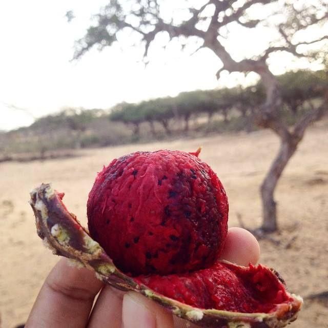 La IGUARAYA la fruta del cardón (el captus que crecen en la Guajira Colombia