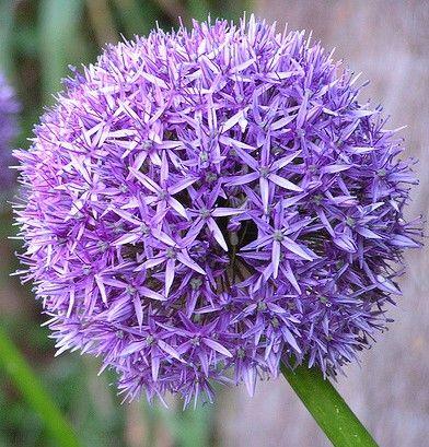 allium-Buddha-Spa-Blog.jpg  flor comestível